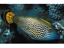 Fantail Filefish - Filefish<br>(<i>Pervagor spilosoma</i>)