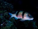 Island (Doublebar) Goatfish - Goatfish<br>(<i>Parupeneus insularis</i>)