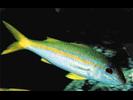Yellowfin Goatfish - Goatfish<br>(<i>Mulloidichthys vanicolensis</i>)