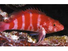 Redbarred Hawkfish - Hawkfish <br>(<i>Cirrhitops fasciatus</i>)