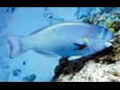Spectacled Parrotfish - Parrotfish<br>(<i>Chlorurus perspicillatus</i>)