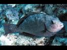 Stareye Parrotfish - Parrotfish<br>(<i>Calotomus carolinus</i>)
