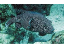 Spotted Puffer - Pufferfish<br>(<i>Arothron meleagris</i>)