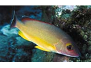 Blacktail Snapper - Snapper<br>(<i>Lutjanus fulvus</i>)