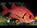 Bigscale Soldierfish - Squirrelfish <br>(<i>Myripristis berndti</i>)