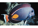 Achilles Tang - Surgeonfish<br>(<i>Acanthurus achilles</i>)