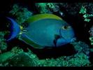 Eyestripe Surgeonfish - Surgeonfish<br>(<i>Acanthurus dussumieri</i>)
