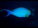 Yellowfin Surgeonfish - Surgeonfish<br>(<i>Acanthurus xanthopterus</i>)