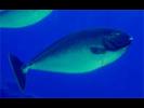 Sleek Unicornfish - Surgeonfish<br>(<i>Naso hexacanthus</i>)