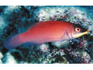 Disappearing Wrasse - Wrasse <br>(<i>Pseudocheilinus evanidus</i>)