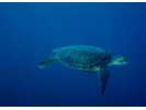 Green Sea Turtle - Sea Turtles<br>(<i>Chelonia mydas</i>)