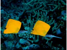 Longnose Butterflyfish - Butterflyfish<br>(<i>Forcipiger longirostris</i>)