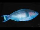 Regal Parrotfish - Parrotfish<br>(<i>Scarus dubius</i>)