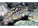 Kelp Bass - Sea Bass<br>(<i>Paralabrax clathratus</i>)