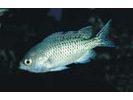 Blacksmith - Damselfish<br>(<i>Chromis punctipinnis</i>)