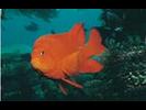 Garibaldi - Damselfish<br>(<i>Hypsypops rubicundus</i>)