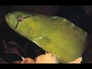 Penpoint Gunnel - Gunnel<br>(<i>Apodichthys flavidus</i>)