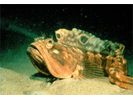 Sarcastic Fringehead - Blenny (pike, tube and flag)<br>(<i>Neoclinus blanchardi</i>)
