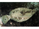 C-O Sole - Righteye Flounder<br>(<i>Pleuronichthys coenosus</i>)