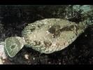 C-O Sole - Righteye Flounder<br>(<i>Pleuronichthys coenosus</i>)