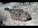 Speckled Sanddab - Lefteye Flounder<br>(<i>Citharichthys stigmaeus</i>)
