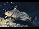 Kelp Greenling - Greenling<br>(<i>Hexagrammos decagrammus</i>)
