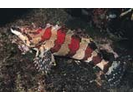 Painted Greenling - Greenling<br>(<i>Oxylebius pictus</i>)