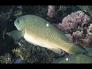 Opaleye - Sea Chub<br>(<i>Girella nigricans</i>)