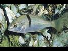 Sargo - Grunt<br>(<i>Anisotremus davidsoni</i>)