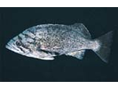 Blue Rockfish - generic ID - Scorpionfish<br>(<i>Sebastes mystinus/diaconus</i>)
