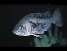 Black Rockfish - Scorpionfish<br>(<i>Sebastes melanops</i>)