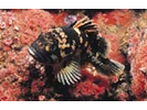 Black-and-Yellow Rockfish - Scorpionfish<br>(<i>Sebastes chrysomelas</i>)