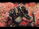 Black-and-Yellow Rockfish - Scorpionfish<br>(<i>Sebastes chrysomelas</i>)