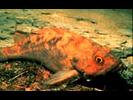 Brown Rockfish - Scorpionfish<br>(<i>Sebastes auriculatus</i>)