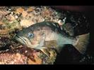 Olive Rockfish - Scorpionfish<br>(<i>Sebastes serranoides</i>)
