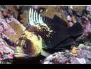 Quillback Rockfish - Scorpionfish<br>(<i>Sebastes maliger</i>)