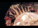 Treefish - Scorpionfish<br>(<i>Sebastes serriceps</i>)
