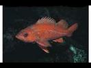 Vermilion Rockfish - Scorpionfish<br>(<i>Sebastes miniatus</i>)