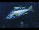 Yellowtail Rockfish - Scorpionfish<br>(<i>Sebastes flavidus</i>)