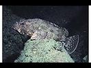 California Scorpionfish - Scorpionfish<br>(<i>Scorpaena guttata</i>)