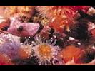 Coralline Sculpin - Sculpin<br>(<i>Artedius corallinus</i>)