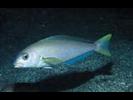 Ocean Whitefish - Tilefish<br>(<i>Caulolatilus princeps</i>)