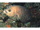 Black Perch - Surfperch<br>(<i>Embiotoca jacksoni</i>)