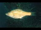 Kelp Perch - Surfperch<br>(<i>Brachyistius frenatus</i>)