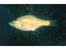 Kelp Perch - Surfperch<br>(<i>Brachyistius frenatus</i>)