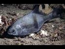 Pile Perch - Surfperch<br>(<i>Rhacochilus vacca</i>)