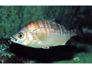 Rainbow Seaperch - Surfperch<br>(<i>Hypsurus caryi</i>)