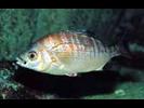 Rainbow Seaperch - Surfperch<br>(<i>Hypsurus caryi</i>)
