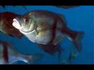 Rubberlip Seaperch - Surfperch<br>(<i>Rhacochilus toxotes</i>)
