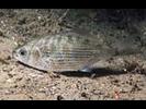 Shiner Perch - Surfperch<br>(<i>Cymatogaster aggregata</i>)